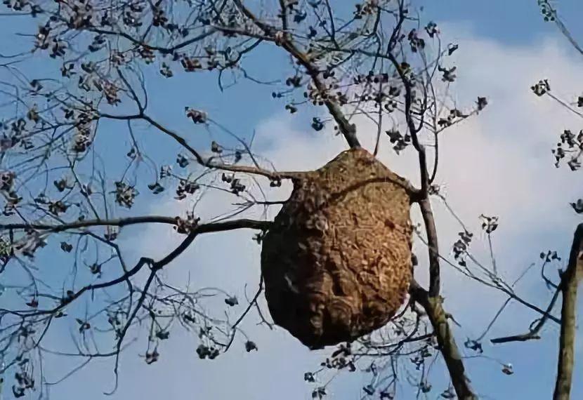 """舌尖上的""""蜂儿"""",壶瓶山生态蜂儿"""