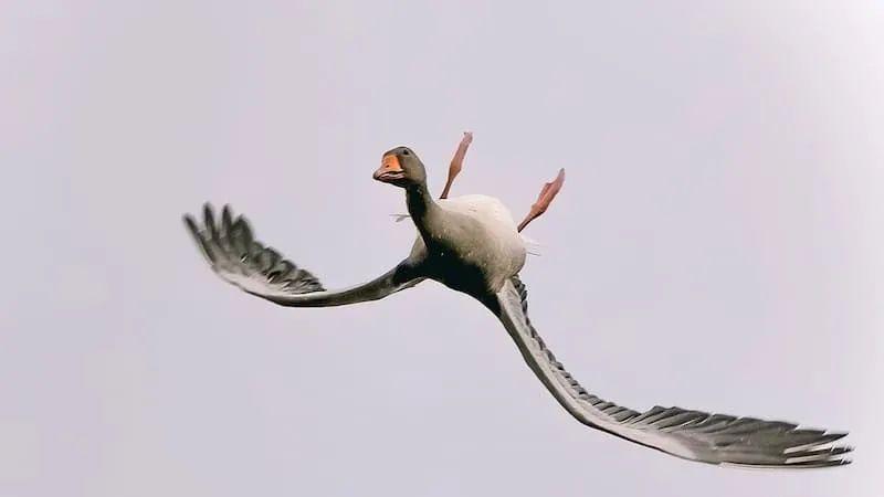 倒着飞的鹅